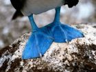 Синяя нога Еремея Календулы