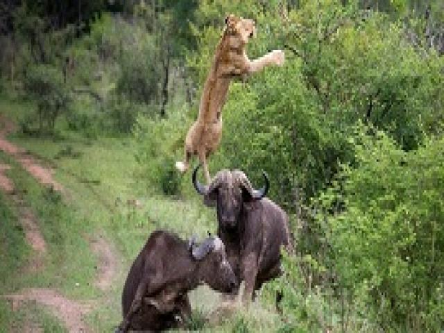 Драматичная сцена в мире природы: лев напал на детеныша буйвола, но ему крупно не повезло.
