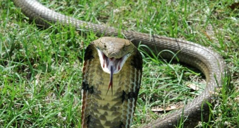 Эпизод 6. А на ужин – кобра!