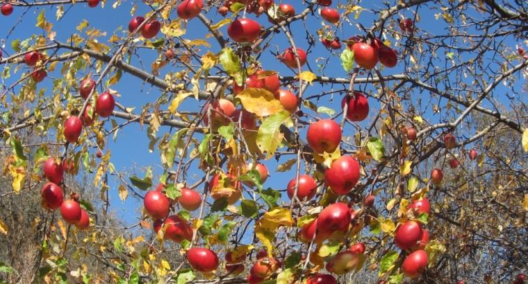 Прародительница всех яблок