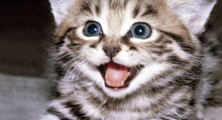 Кот поёт