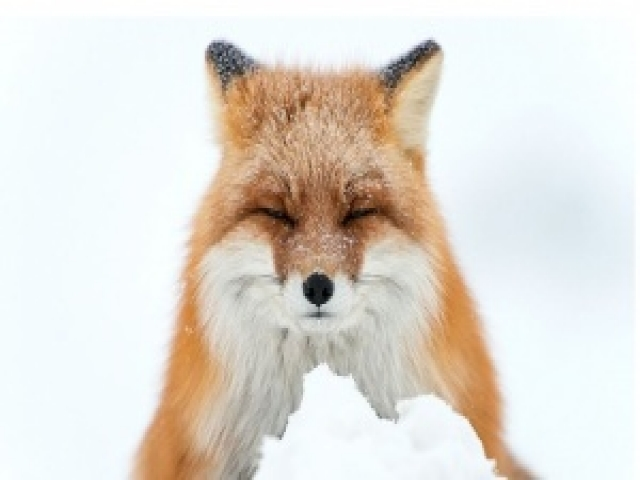 Горный инженер сЧукотки фотографирует лис