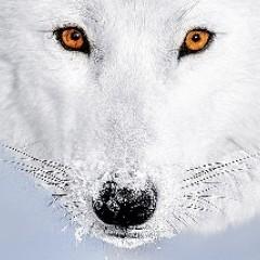 sedoi_wolk